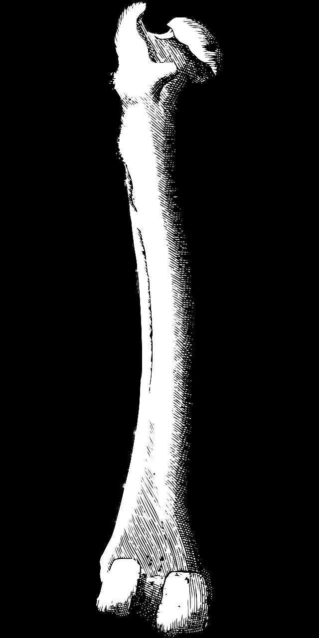 640x1280 Bone, Leg Bone, Femur, Human, Medical