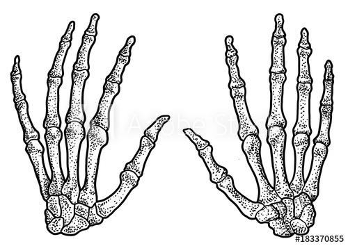 500x354 Human Hand Skeleton Illustration, Drawing, Engraving, Ink, Line
