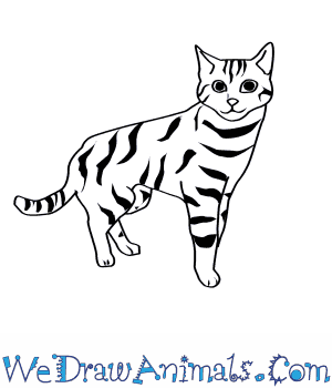 300x350 How To Draw A Black Footed Cat
