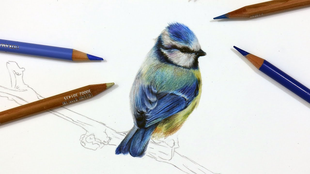 1280x720 How To Draw A Blue Tit Using Coloured Pencil Drawing Tutorial