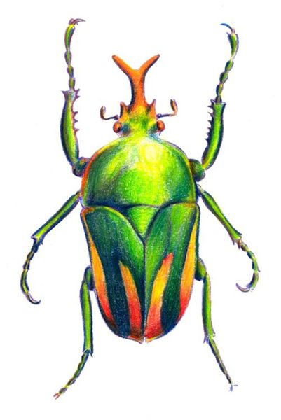 401x600 How To Draw A Beetle