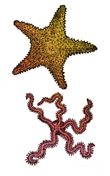 375x600 Starfish Drawing Art Pixels