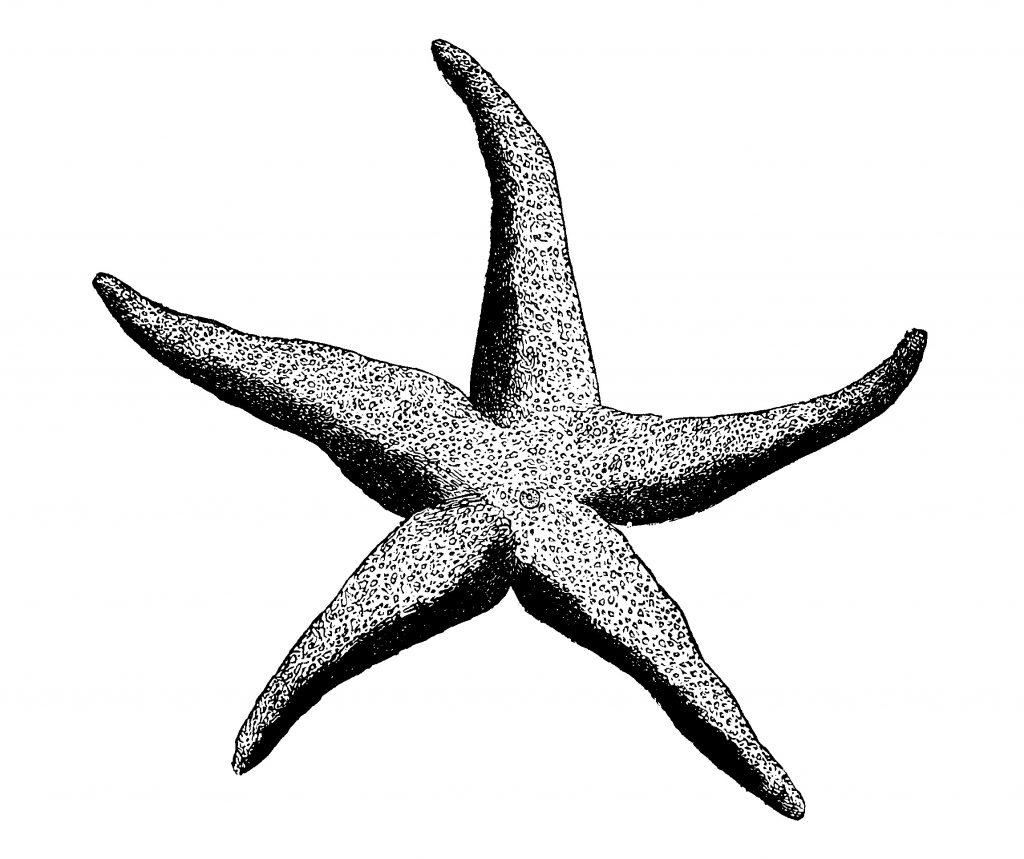 1024x859 Starfish Drawing New Starfish Line Drawing At Getdrawings