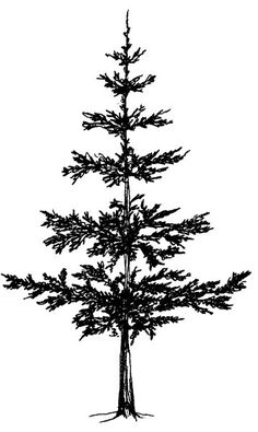 236x395 Best Drawing Pine Trees Images Easy Drawings, Paintings