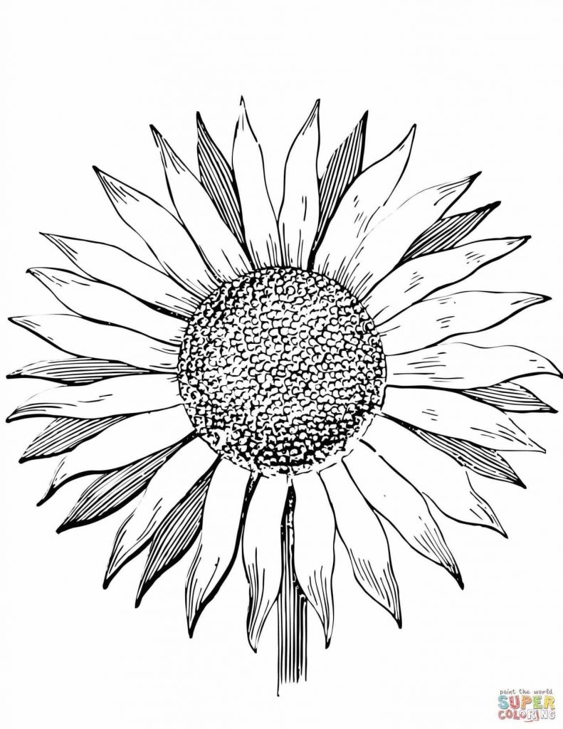 791x1024 sunflower drawings new simple sunflower drawing sunflower is part