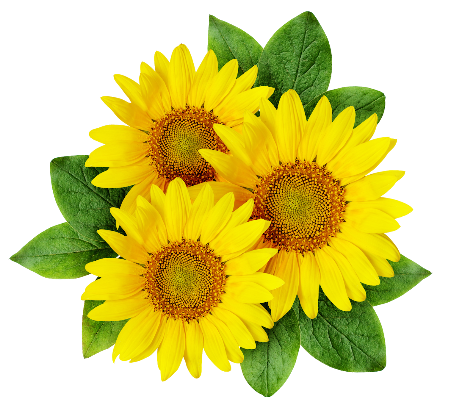 Sunflower Drawing Pictures   Free download on ClipArtMag