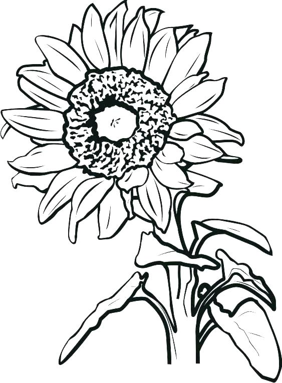 563x765 sunflower coloring sunflower coloring sheets sunflower coloring