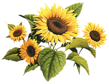 Sunflower Pencil Drawing