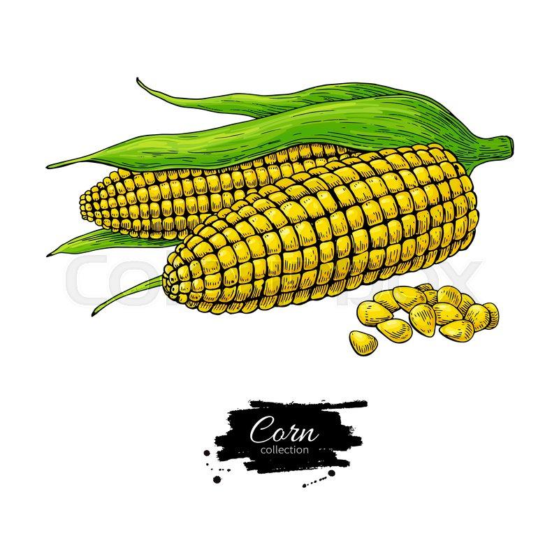 800x800 Corn Hand Drawn Vector Illustration Stock Vector Colourbox