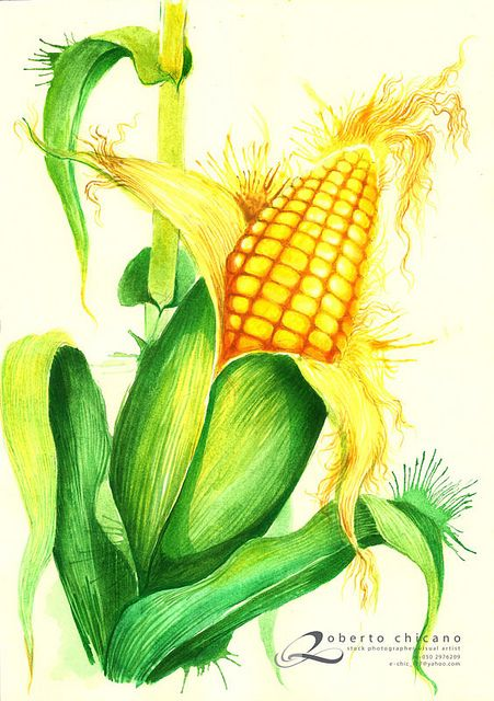 451x640 Watercolor Corn Barn Art Watercolor, Watercolor
