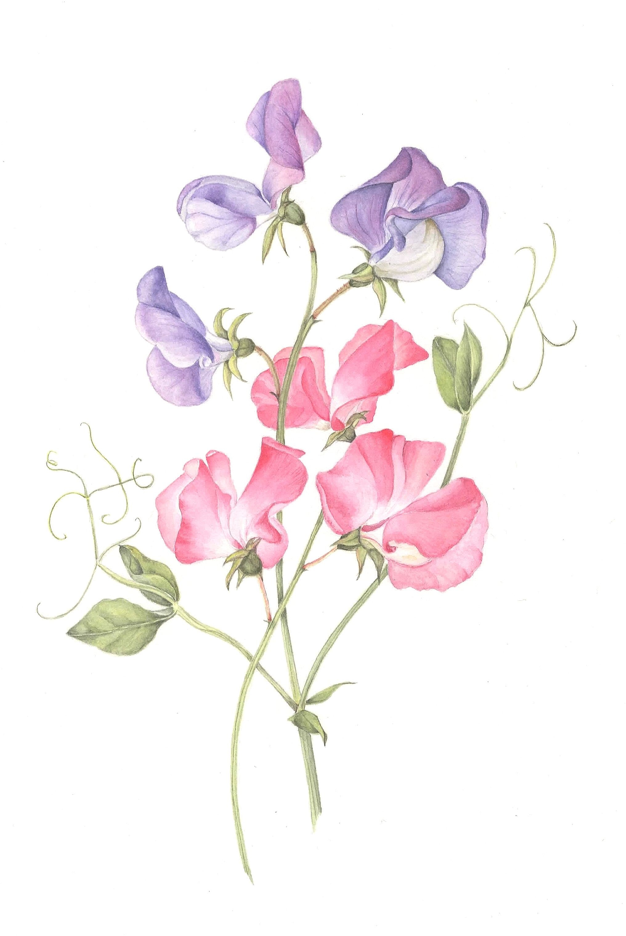 2033x3042 sweet pea flower drawing and sweet pea botanical illustration