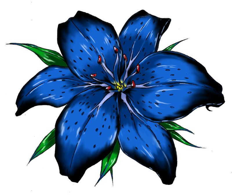 800x673 blue tiger lily flower blue tiger lily tiger lily