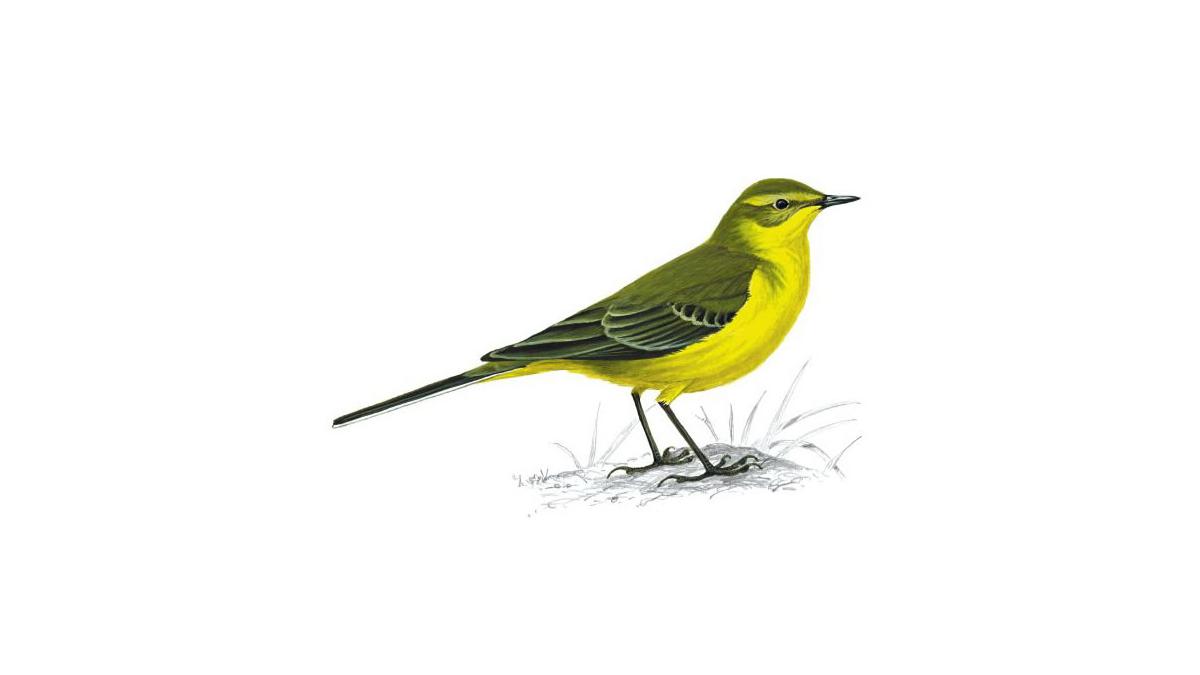 1200x675 Yellow Wagtail Bird Facts Motacilla Flava