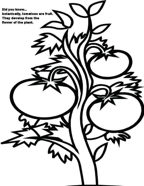 600x773 tomato drawing tomato plant for free download