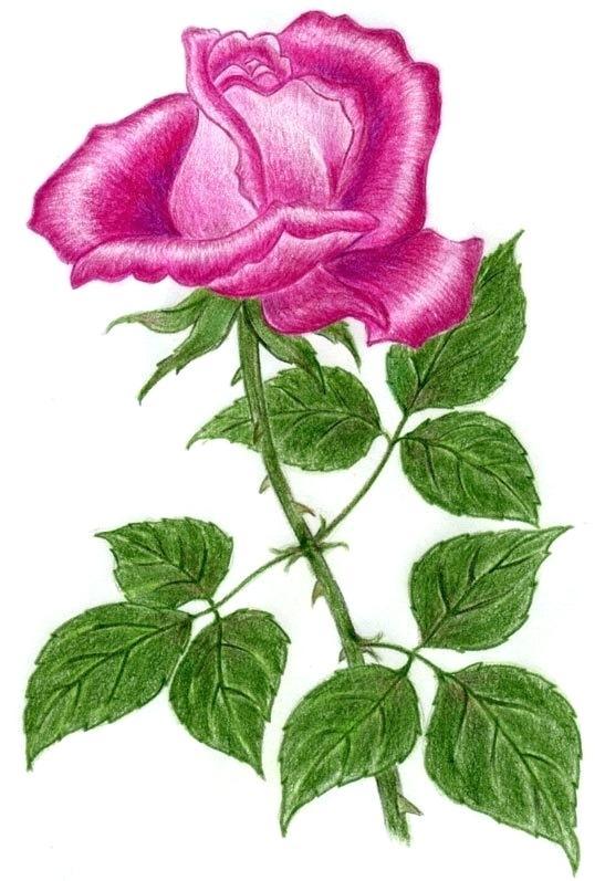 547x797 Drawing Of Rose Rose Sketch Photo Sharing Drawing Rose Step
