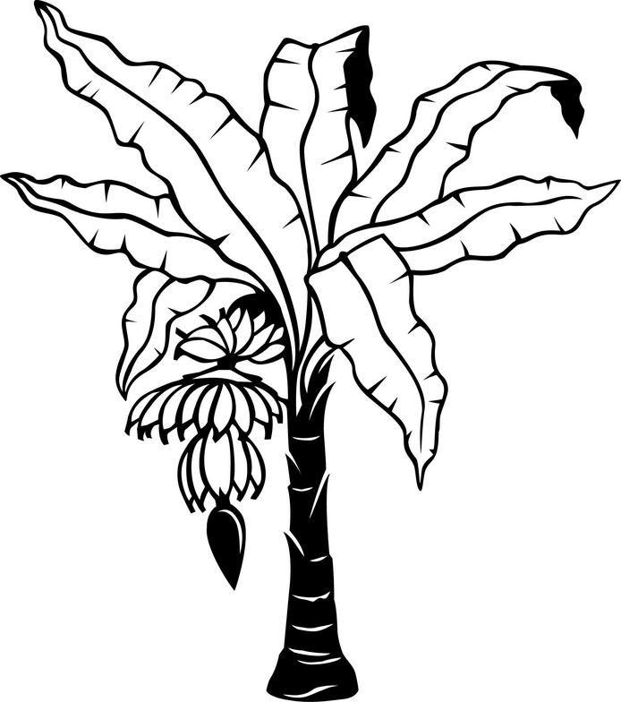 694x784 Banana Tree Drawing