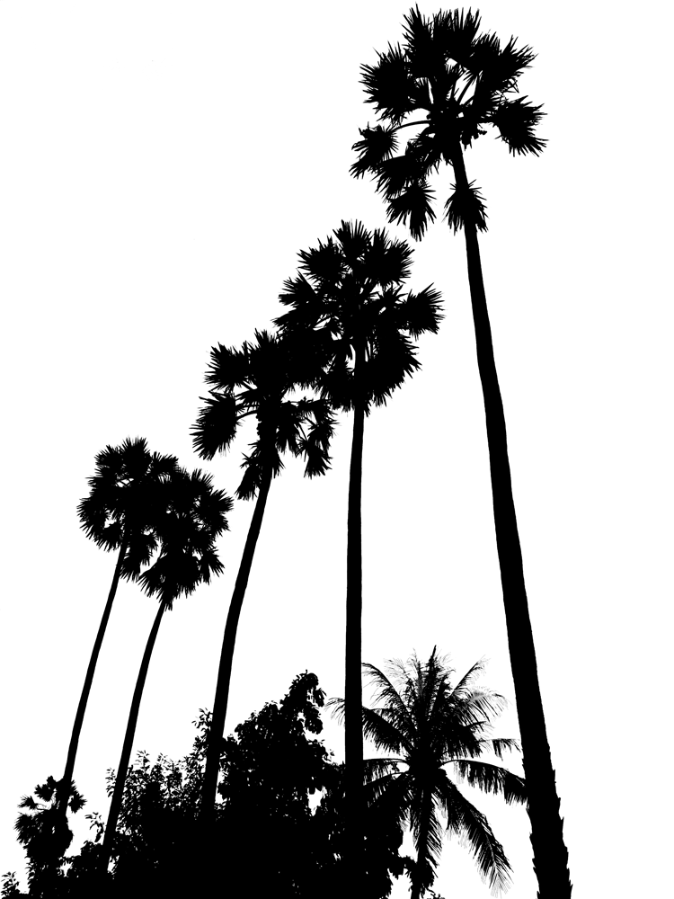 750x1000 palm tree in shadow png curved free palm tree in shadow curved