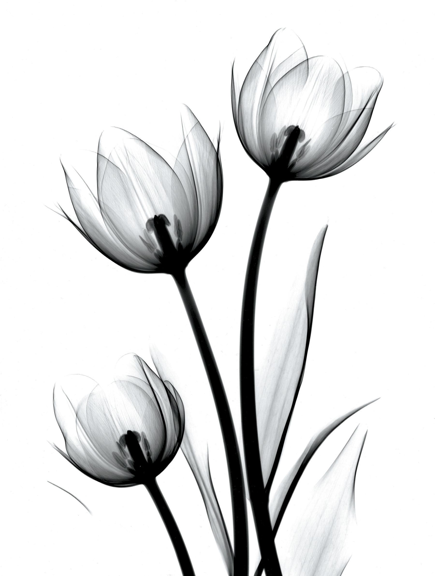 Tulip drawings in pencil free download best tulip drawings in