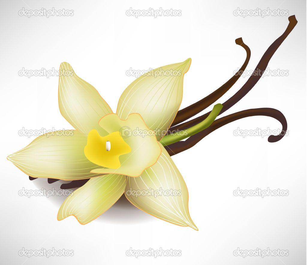 1024x882 vanilla flower n is for nikki vanilla, vanilla plant