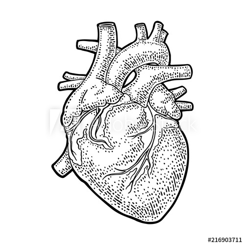 500x500 Human Anatomy Heart Vector Black Vintage Engraving Illustration