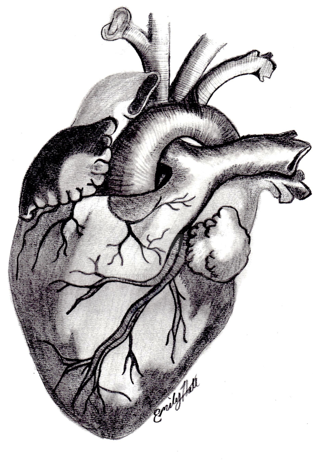 1024x1483 Organ Drawing Anatomically Correct Heart For Free Download