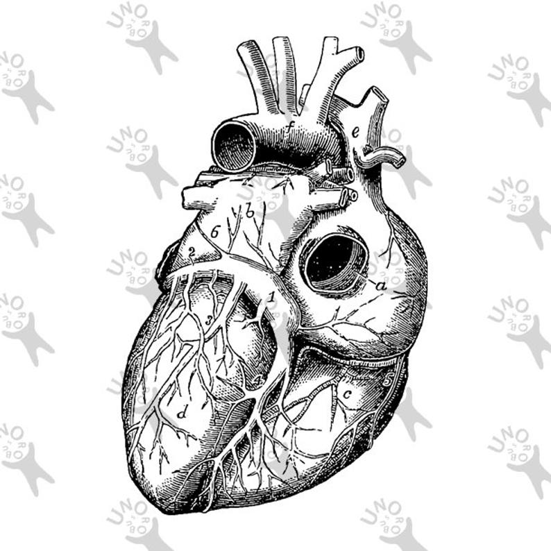 Vintage Anatomical Heart Drawing | Free download on ClipArtMag