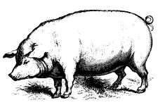 Vintage Pig Drawing