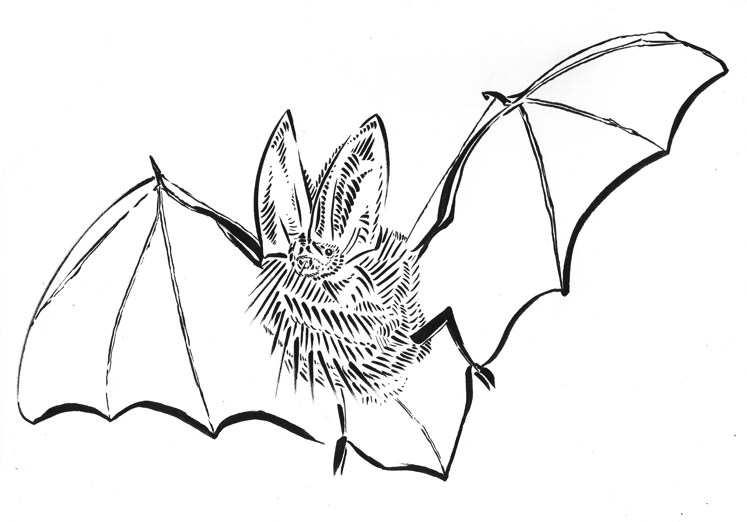 2440x1706 virginia big eared bat drawing