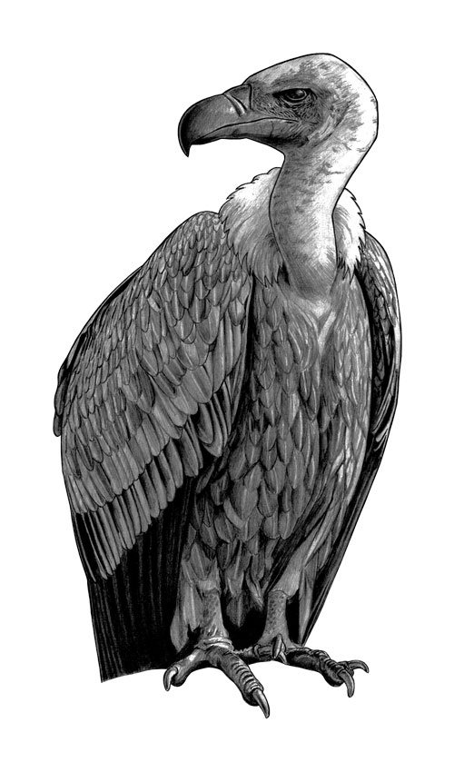 500x850 Vulture A Drawing Of A Vulture Tim Maclean