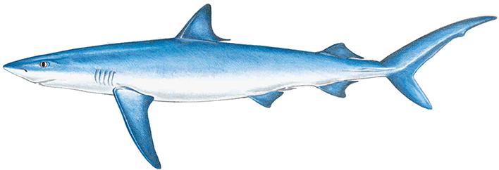 708x242 blue shark drawing images blue shark, shark drawing, shark