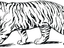 220x165 bengal coloring pages white bengal tiger coloring