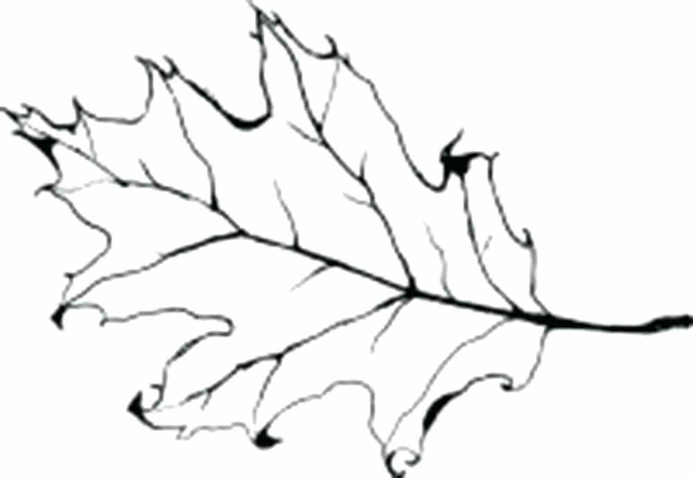 1000x690 oak leaf outline coloring oak leaf outline free