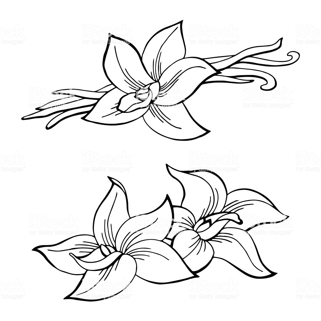 White Orchid Drawing