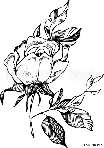 351x500 Black White Rose Illustration Drawing Of A Plant In The Style