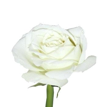 350x350 White Roses For Sale Flower Garden Drawing High Quality Fresh Cut