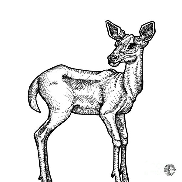 600x600 White Tailed Deer Drawings Fine Art America