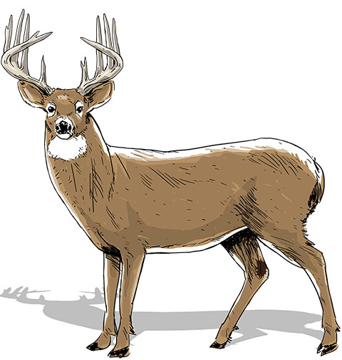 480x505 Collection Of Free Stream Drawing Whitetail Deer Download On Ui Ex