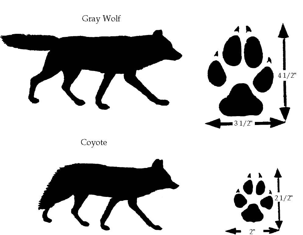 994x771 wolf paw vs coyote paw wolves wolf paw, wolf paw print, wolf