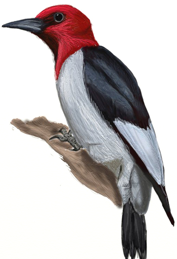 350x511 How To Draw A Woodpecker