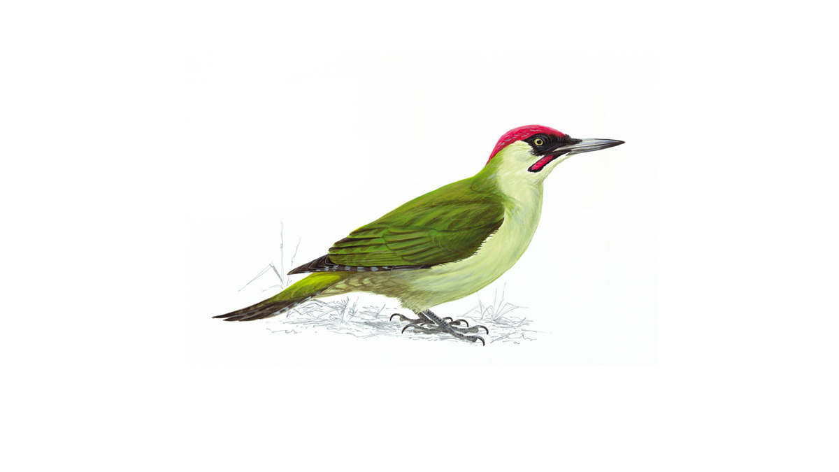 1200x675 Green Woodpecker Facts Picus Viridis