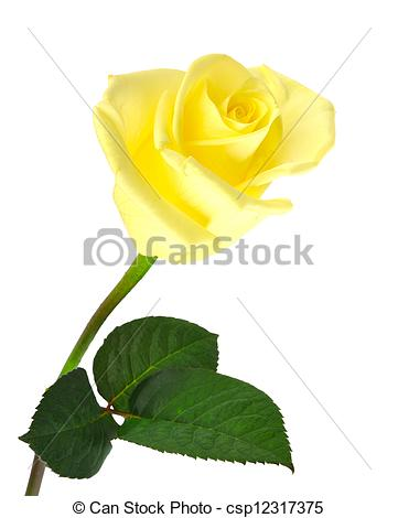 361x470 nice yellow rose over white isolated nice yellow rose with leaf