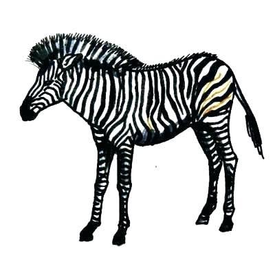 400x400 draw zebra how to draw zebra draw zebra stripes easy