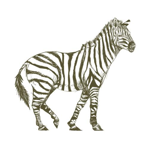 490x490 Illustration Drawing Style Of Zebra