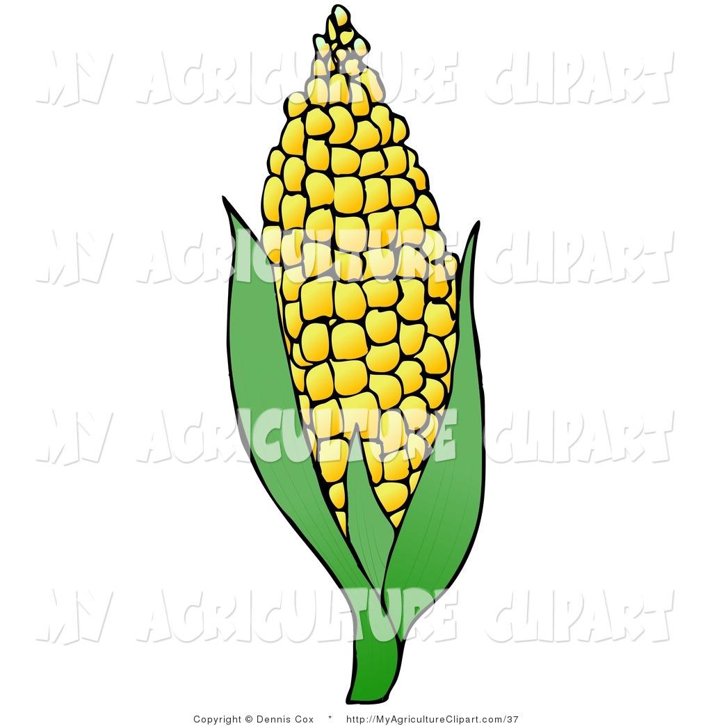 1024x1044 Ear Of Corn Clipart