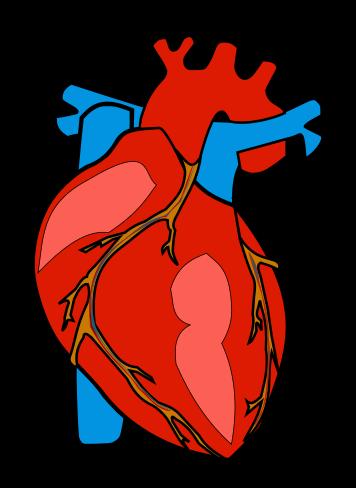 356x488 Organs Clipart Anatomical Heart