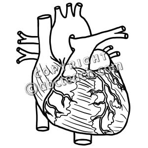 300x300 Anatomical Heart Clipart
