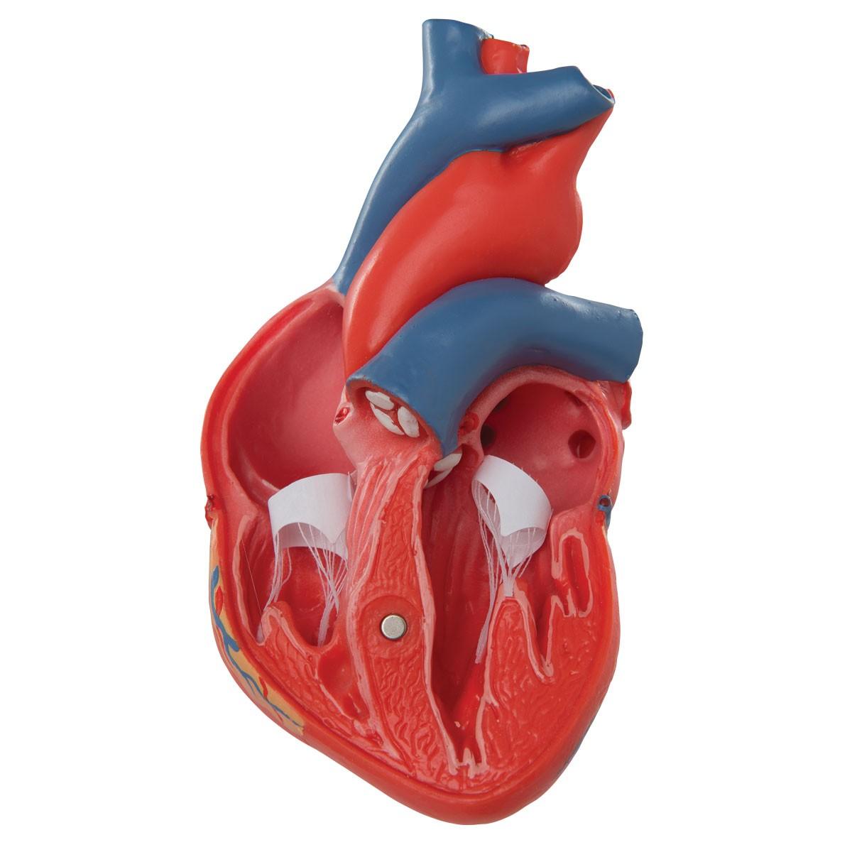 1200x1200 Anatomical Heart Model G08 Heart Anatomy Model 3b Scientific