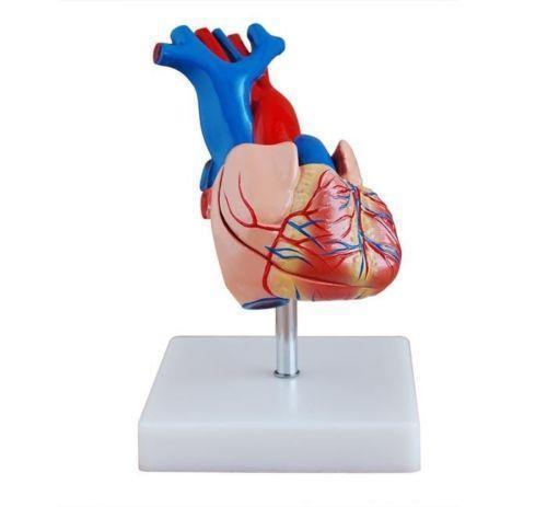 500x463 Anatomical Heart Model Teaching Amp Education Supplies Ebay