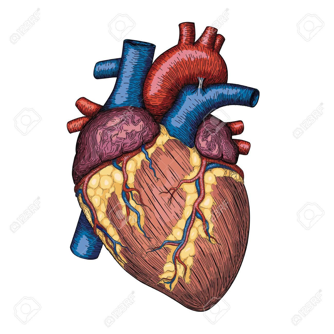 1300x1300 Anatomical Human Heart Gallery