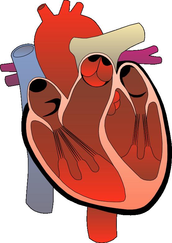 555x786 Anatomy Clipart Anatomical Heart